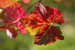 Leinwanddruck Bild - Rotes Weinlaub