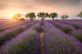 Lavender fields near Valensole, Provence, France