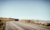 Bisonte attraversa strada americana