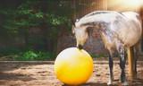 Gray horse looking at big yellow ball in sand paddock - 167669853