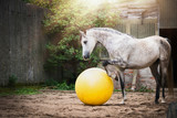 Beautiful gray horse play big yellow ball in sand paddock - 167669893