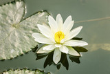 Lotus flower on pond at Hanoi