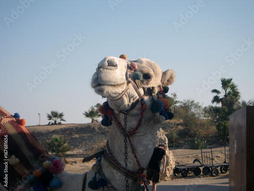 Camel muzzle