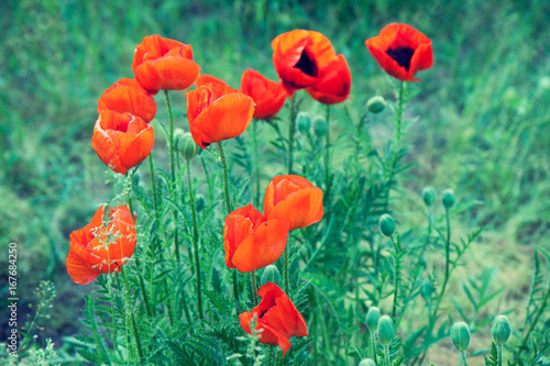 Blossoming red Poppies in the field in spring