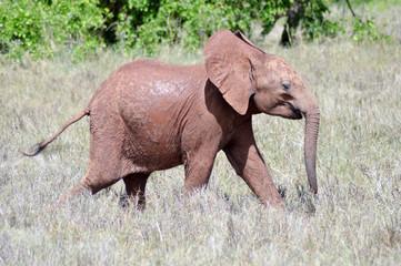 Small elephant strolling