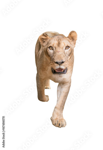 Foto op Aluminium Lion female lion isolated