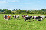 Dairy cow in pasture - 167697218