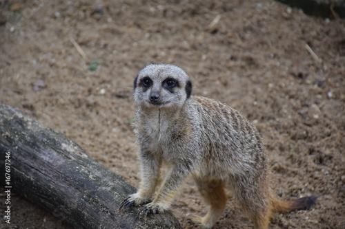 Plakat Meerkat