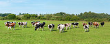 Dairy cow in pasture. Panorama. Banner - 167697870