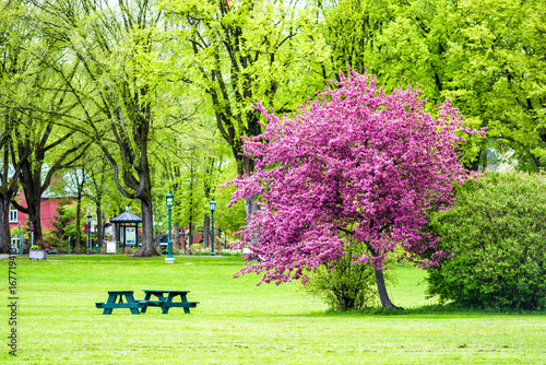 Colorful pink or purple crabapple tree in green plaines d'Abraham park in mornin Poster