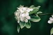 Apple tree flower blossoming at spring time, floral vintage background