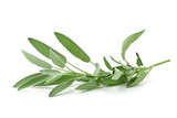 Single fresh harvested organic sage twig over white - 167720623