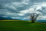 Champs de Colza avec un arbre sous l'orage