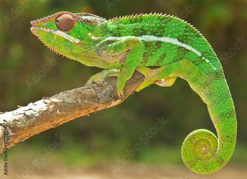 Fotobehang Kameleon Panther Chameleon, Madagascar