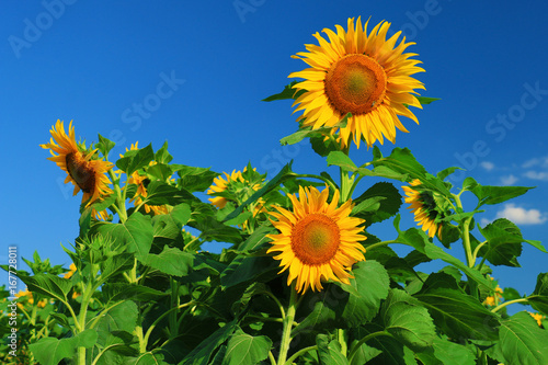 Poster Beautiful sunflower against blue sky