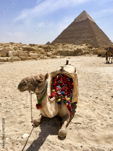 Camel and Great Pyramids of Giza . Egypt