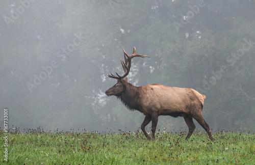 Fotobehang Hert Bull Elk