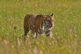 The Siberian tiger (Amur tiger - Panthera tigris altaica) in his natural environment in beautiful country