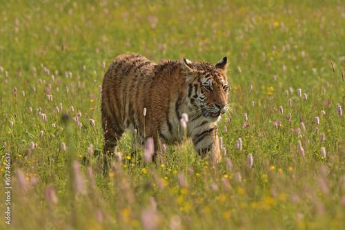 Fotobehang Tijger The Siberian tiger (Amur tiger - Panthera tigris altaica) in his natural environment in beautiful country