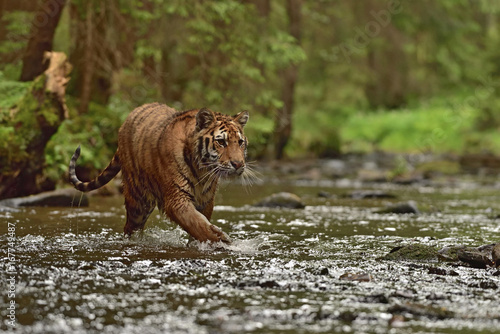 The Siberian tiger (Amur tiger - Panthera tigris altaica) in his natural environment in the river in beautiful country