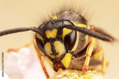 European Wasp, Vespula Vulgaris Poster