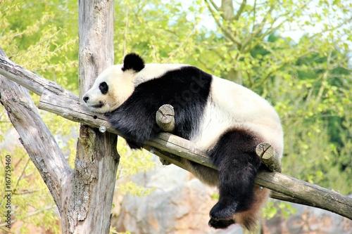 Fotobehang Panda panda géant beauval