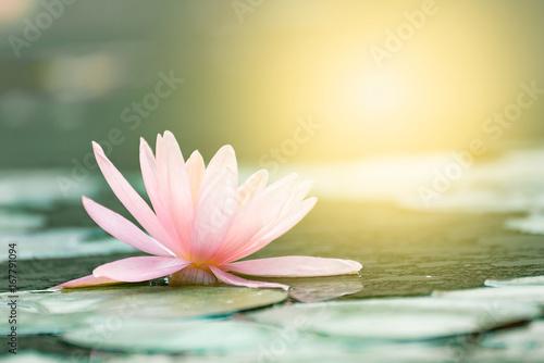 Leinwandbild Motiv Beautiful lotus flower in pond,The symbol of the Buddha, Thailand.