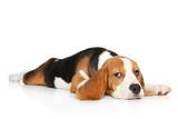 Beagle puppy lying