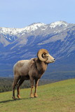 Bighorn Sheep with Mountain Background - 167795236