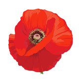 Poppy flower - Papaver rheas. Hand drawn illustration of a red poppy on transparent background.