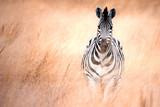zebra running thru tall grass in South Africa