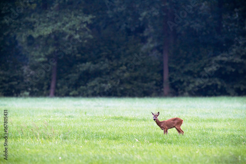Poster Roe deer buck feeding from grass in meadow.