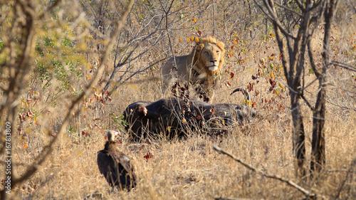 Löwe verteidigt seine Beute gegen Geier - 167813809