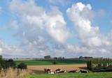 élevage bovins dans la campagne normande
