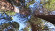 Looking up at Towering Redwoods