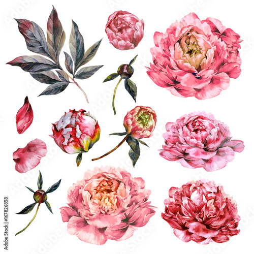 Fototapeta Watercolor Collection of Pink Peonies.