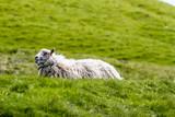 Schaf auf Färöer Island - 167834695