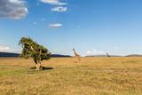 żyrafy w savannah na afryce