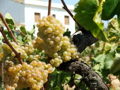 Winnica 1