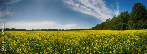 Spoed canvasdoek 2cm dik Panoramafoto s Panoramic view of blooming yellow rapeseed field in Collingwood, Ontario