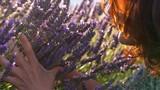 Woman smelling violet lavender flowers at lavender field - 167883008
