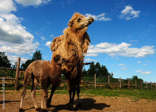 Mother camel with baby, outdoor