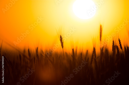 Fotobehang Bruin Ears of wheat on the background of a golden sunset