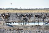 Springbok at Waterhole - Etosha