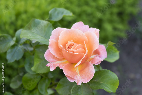 Leinwanddruck Bild Rose (Rosa sp.)