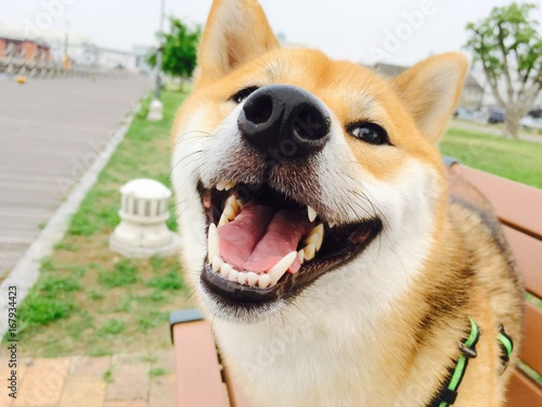 shiba dog