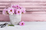 Pink chrysanthemum in concrete pot with scissors - 167935046