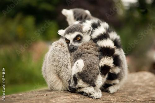 Plakat Cute family of ring-tailed lemurs