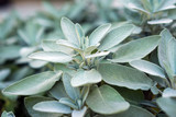 Plant of sage, aromatic herb, closeup - 167951033