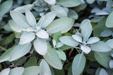 Plant of sage, aromatic herb - 167951276